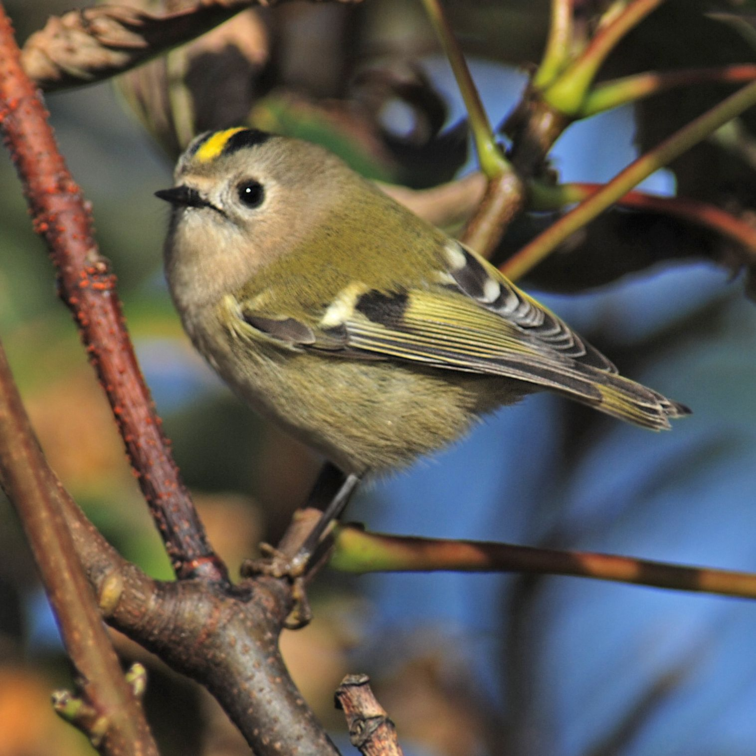 Beautiful Gold crest. I have a pair of these cuties nest in my garden every year.