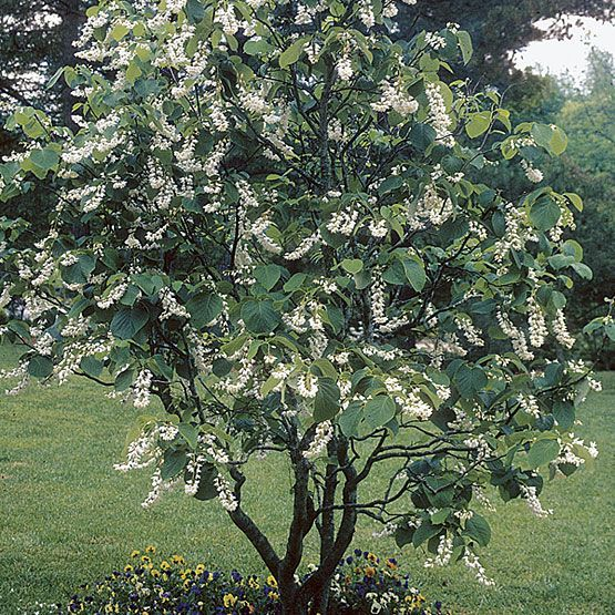 Fragrant snowbell small trees shrub and plants fragrant snowbell this plant is a small tree or large shrub reaching 30 feet tall and 20 feet wide it starts out in a pyramidal shape and becomes more open mightylinksfo
