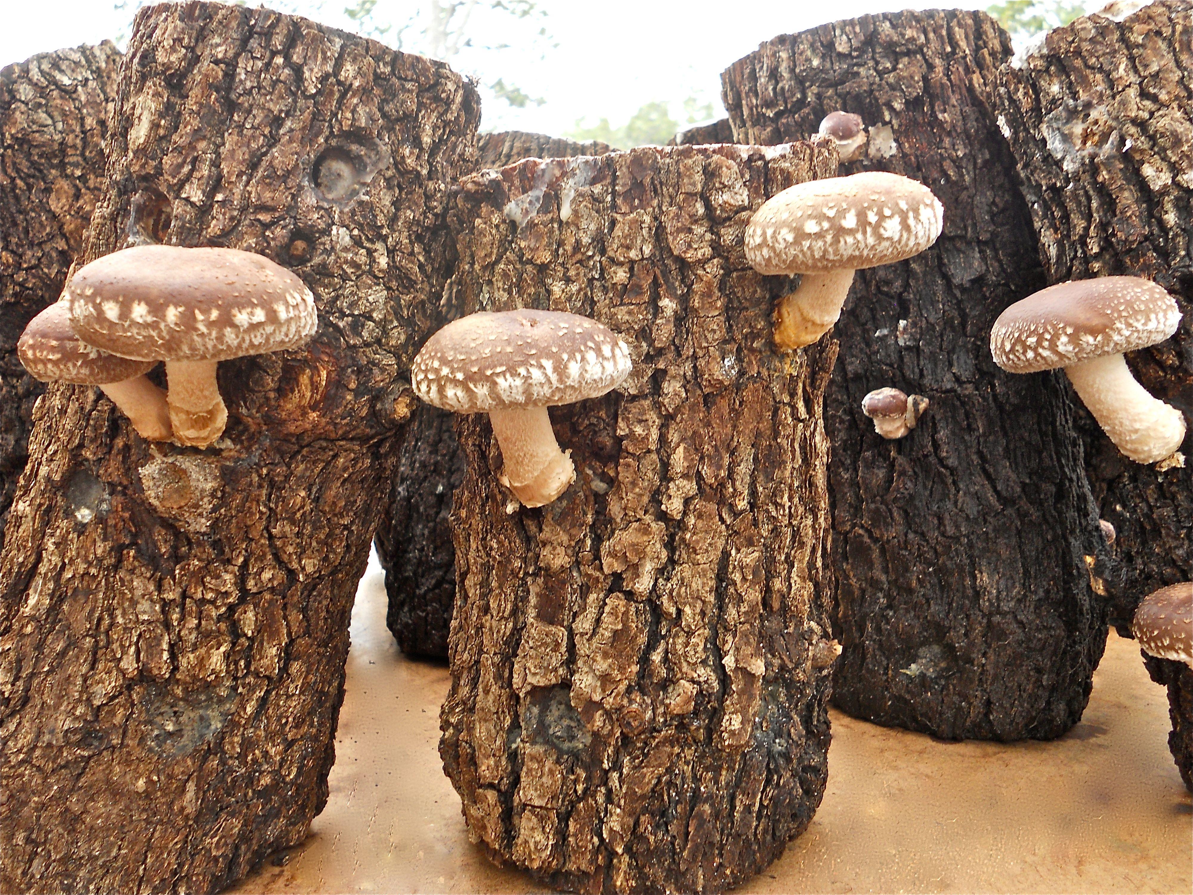 Shiitake mushrooms growing on logs from 100th Monkey