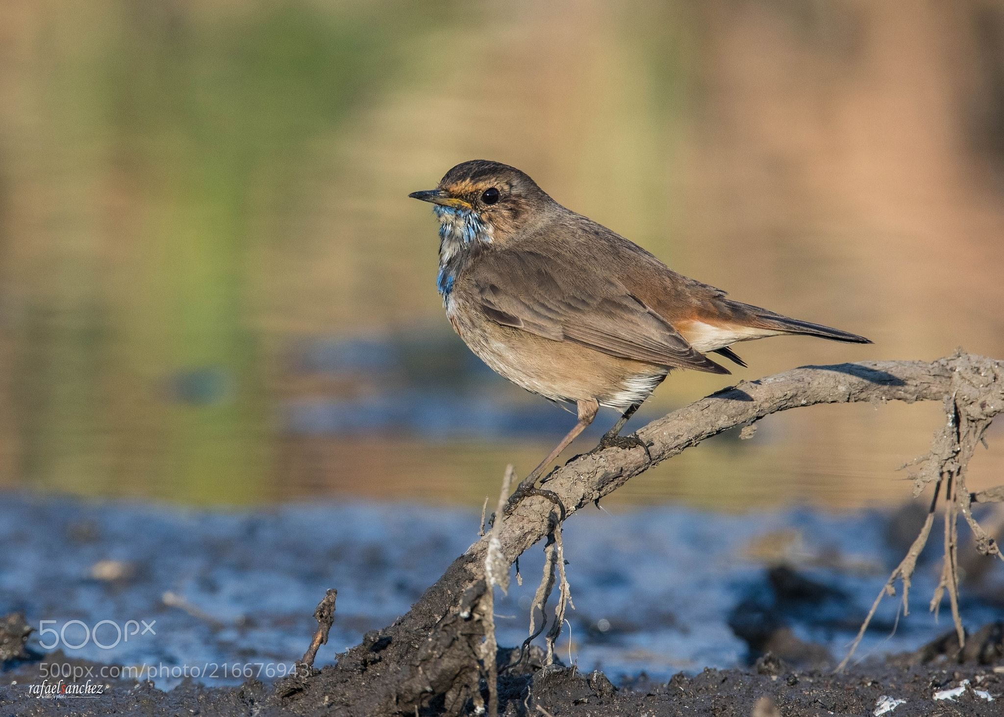Pechiazul - Bluethroat (Rafael Sanchez Sanchez / Las Palmas de G.C. / España) #Canon EOS 5D Mark IV #animals #photo #nature