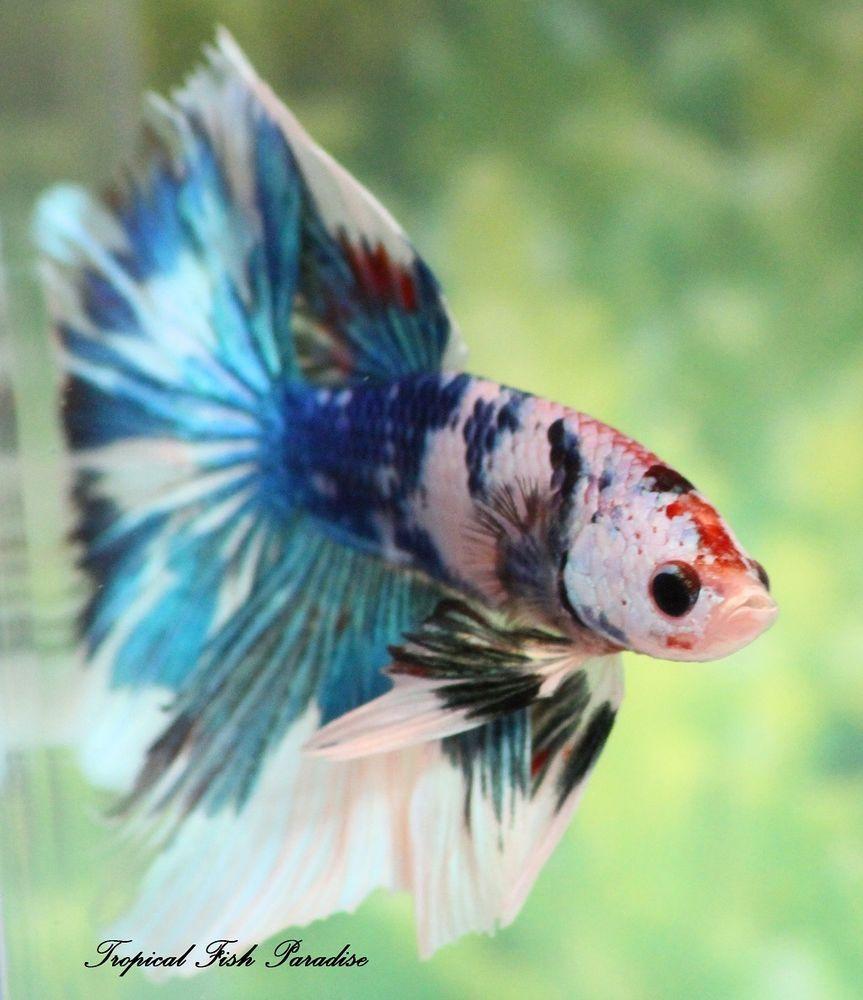 Beautiful blue red green white male koi halfmoon hm for Petco koi fish