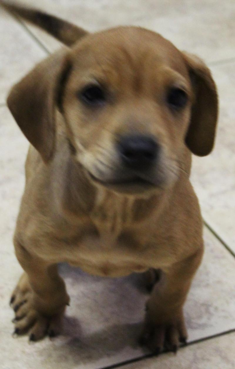 Adopt Redmund On Pets Adoption Beagle Mix
