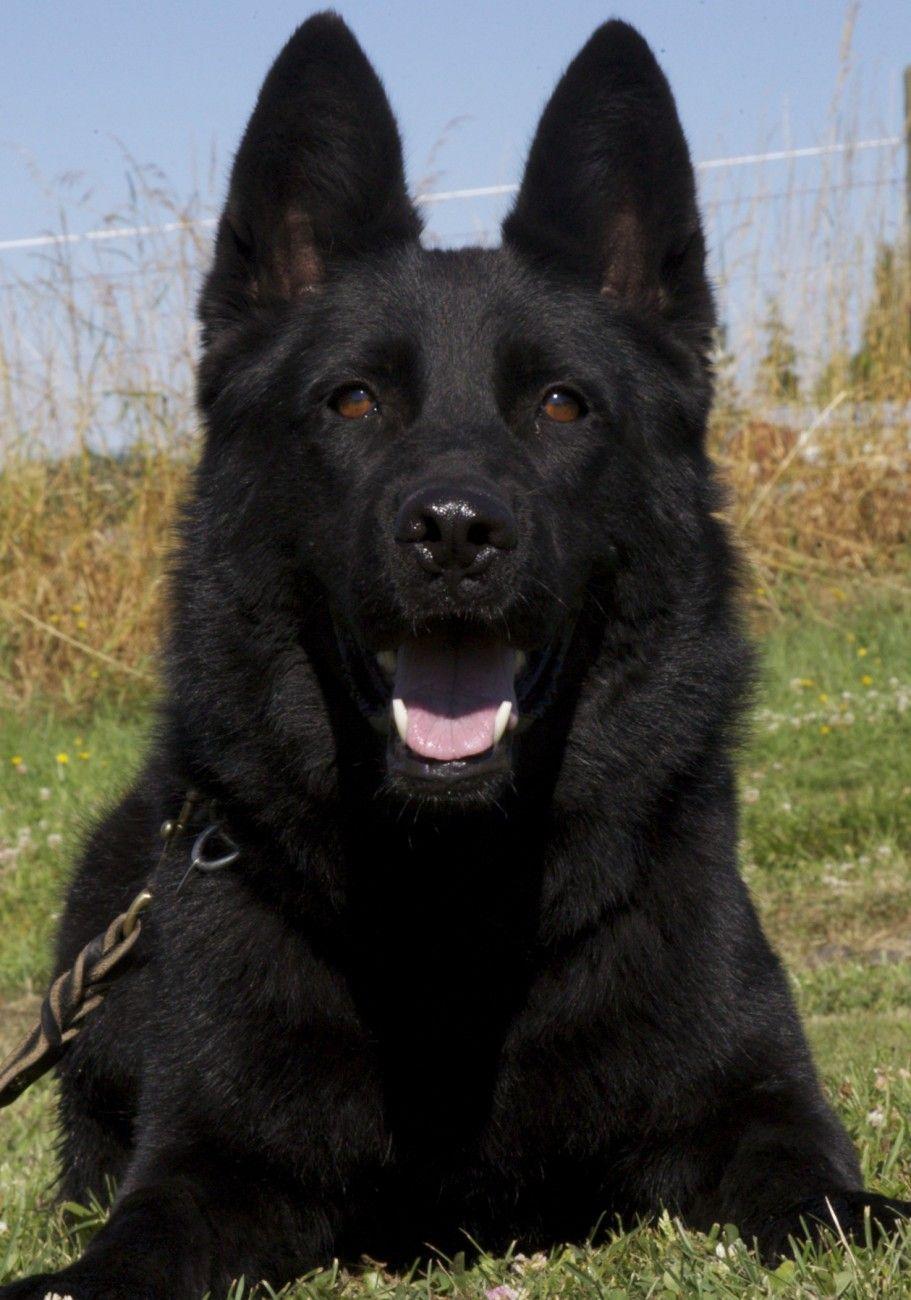 Face Black Sable German Shepherd Puppies Black German Shepherd