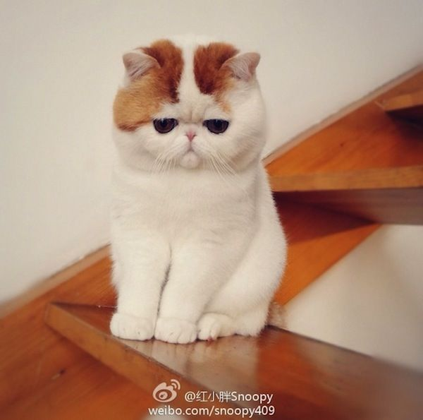10 Most Popular Flat Faced Cat Breeds In The World Snoopy Cat