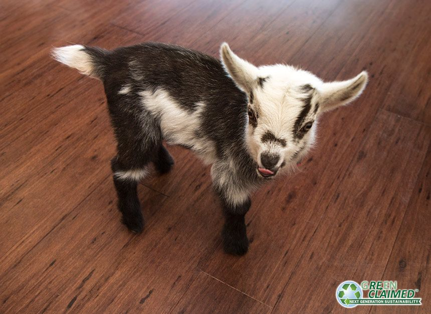 Geronimo our owner's goat on Cocoa Eucalyptus Flooring<br>Call Toll Free: 1(888)788-2254