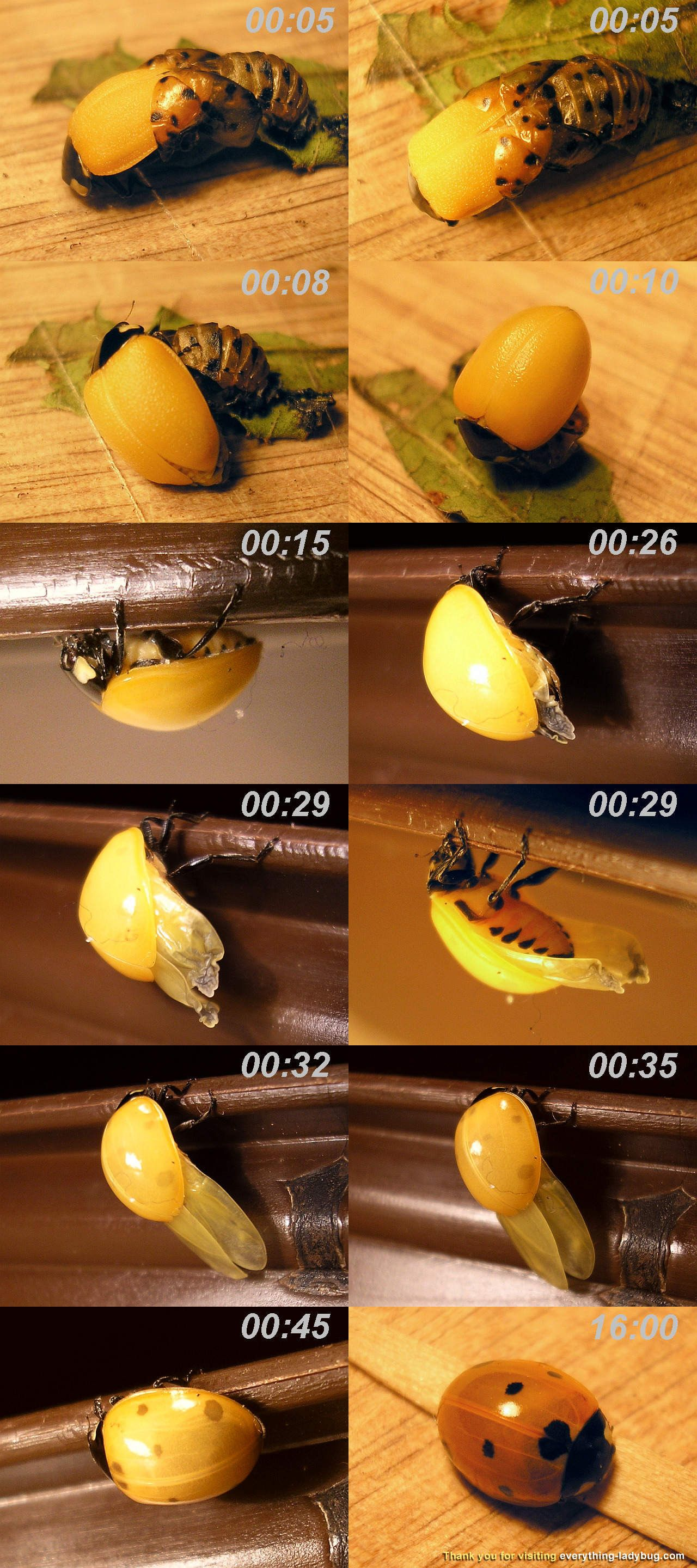 Coccinella septempunctata adult emerging from pupa, with