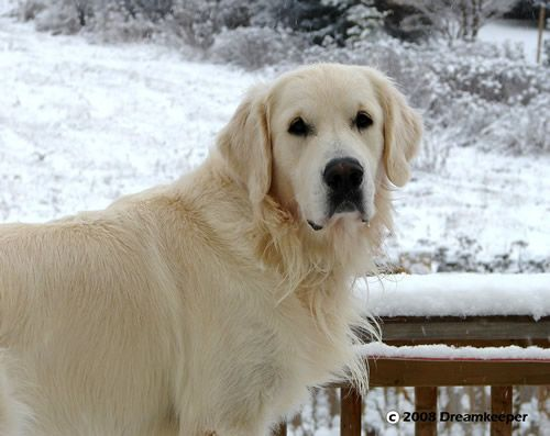 Light Golden Retriever Google Search With Images Golden
