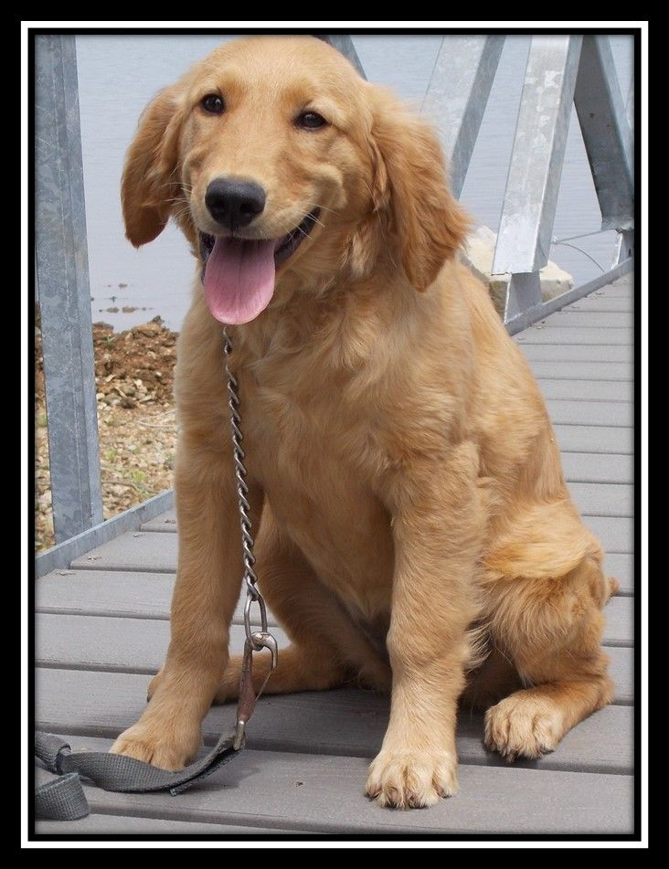 Beautiful Golden Retriever and