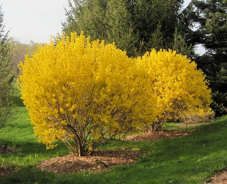 The Lynwood Gold Forsythia Shrub Is A Landscaping Favorite