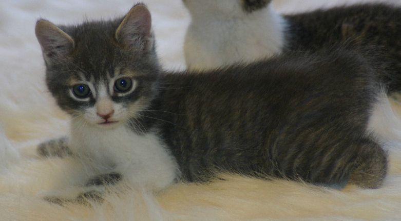 Manx Polydactyl Kittens For Sale Polydactyl Kitten Baby Cats Animals Beautiful