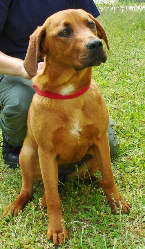 Redbone Coonhound Lab Mix F Spayed 7 Months Named Ginger In
