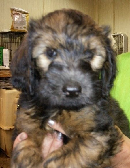 Litter Of 8 Whoodle Puppies For Sale In Hamilton Oh Adn 34997 On