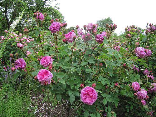 Image Result For Louis Gimard Rose Rose Garden Design Rose Garden Design