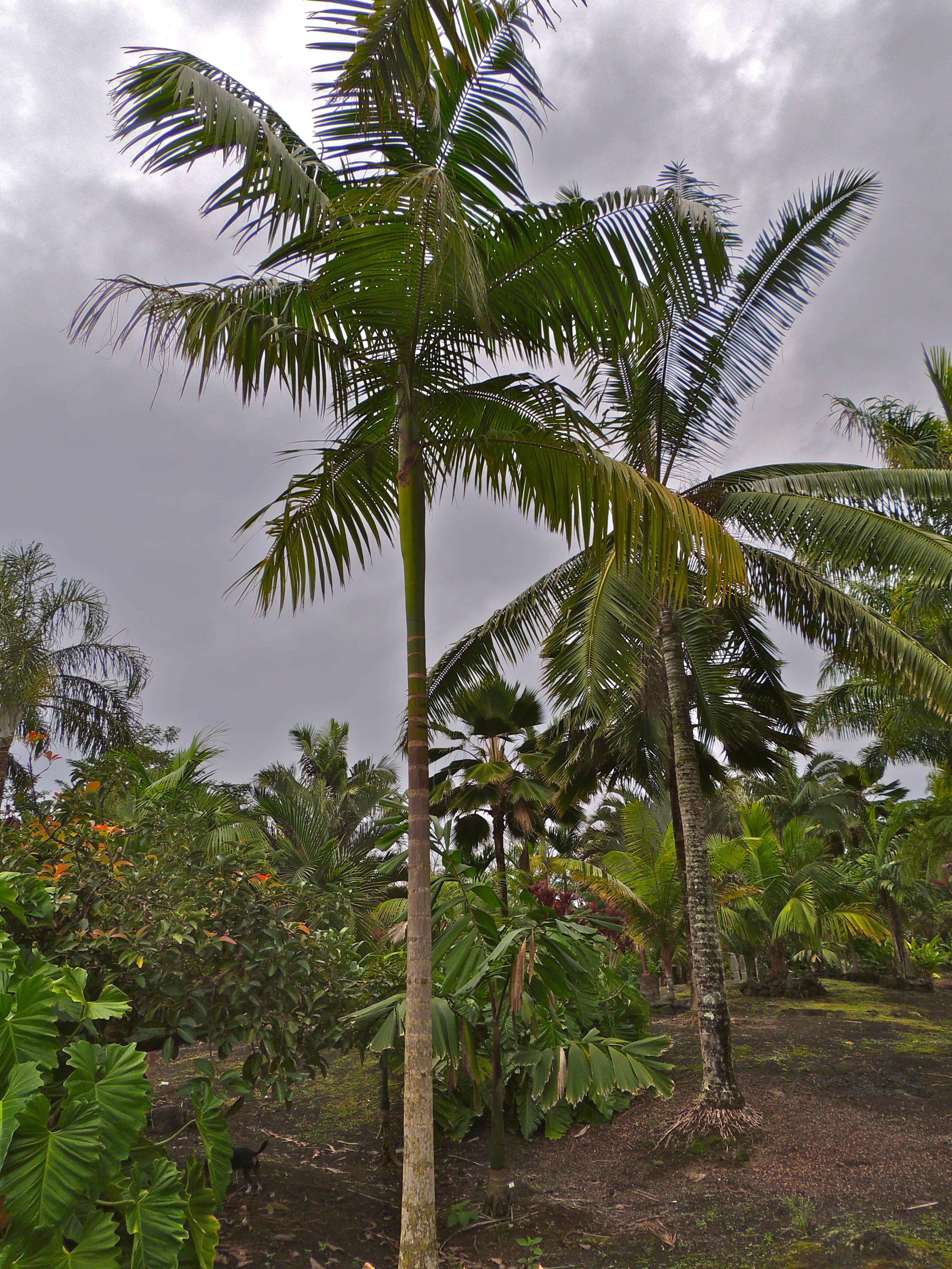 Euterpe precatoria Hawaii   Palm photos original   Pinterest ...