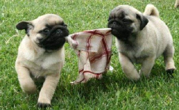 Pug Puppies For Sale In Scotland Zoe Fans Blog Pug Puppies For
