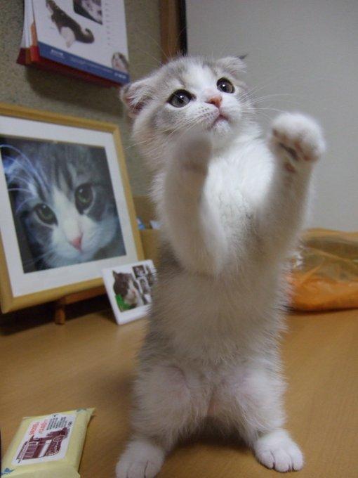 にょーたろー Sukeyotafumi さん Twitter Kittens Cutest Cats And Kittens Pretty Cats