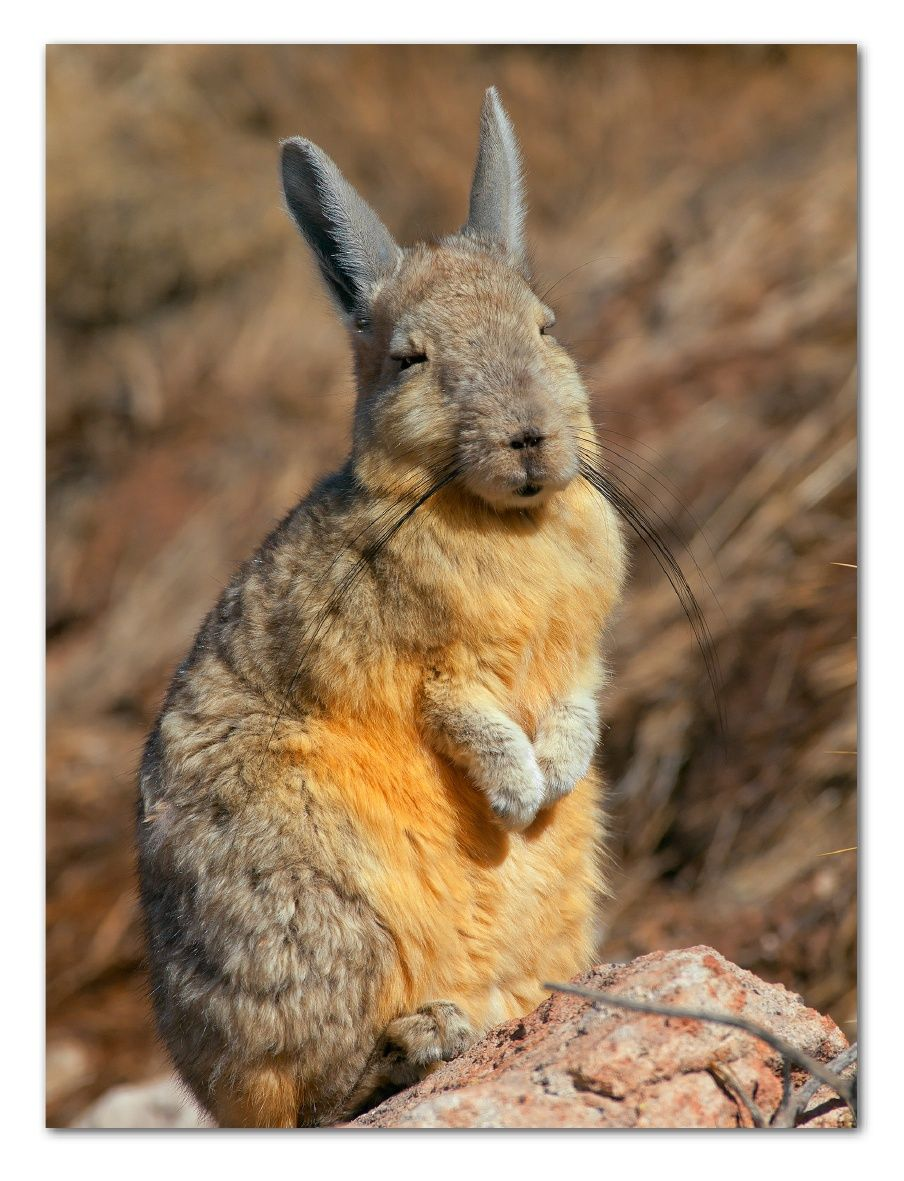 viscacha rodents of two genera in the family chinchillidae they are closely related to. Black Bedroom Furniture Sets. Home Design Ideas