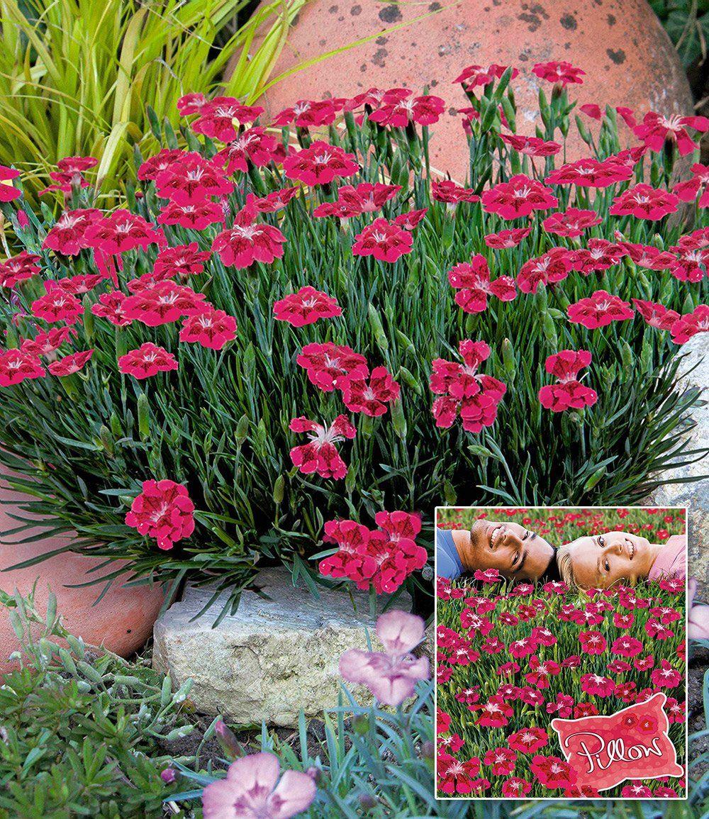 Bodendecker-nelke 'red Pillow' | Nelken | Pinterest | Kissen Nelken Im Garten Pflanzen Arten Blumen Tipps