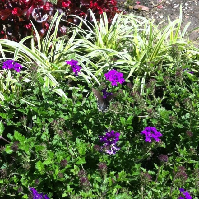 Butterfly On The Perennial Homestead Purple Verbena. Nice