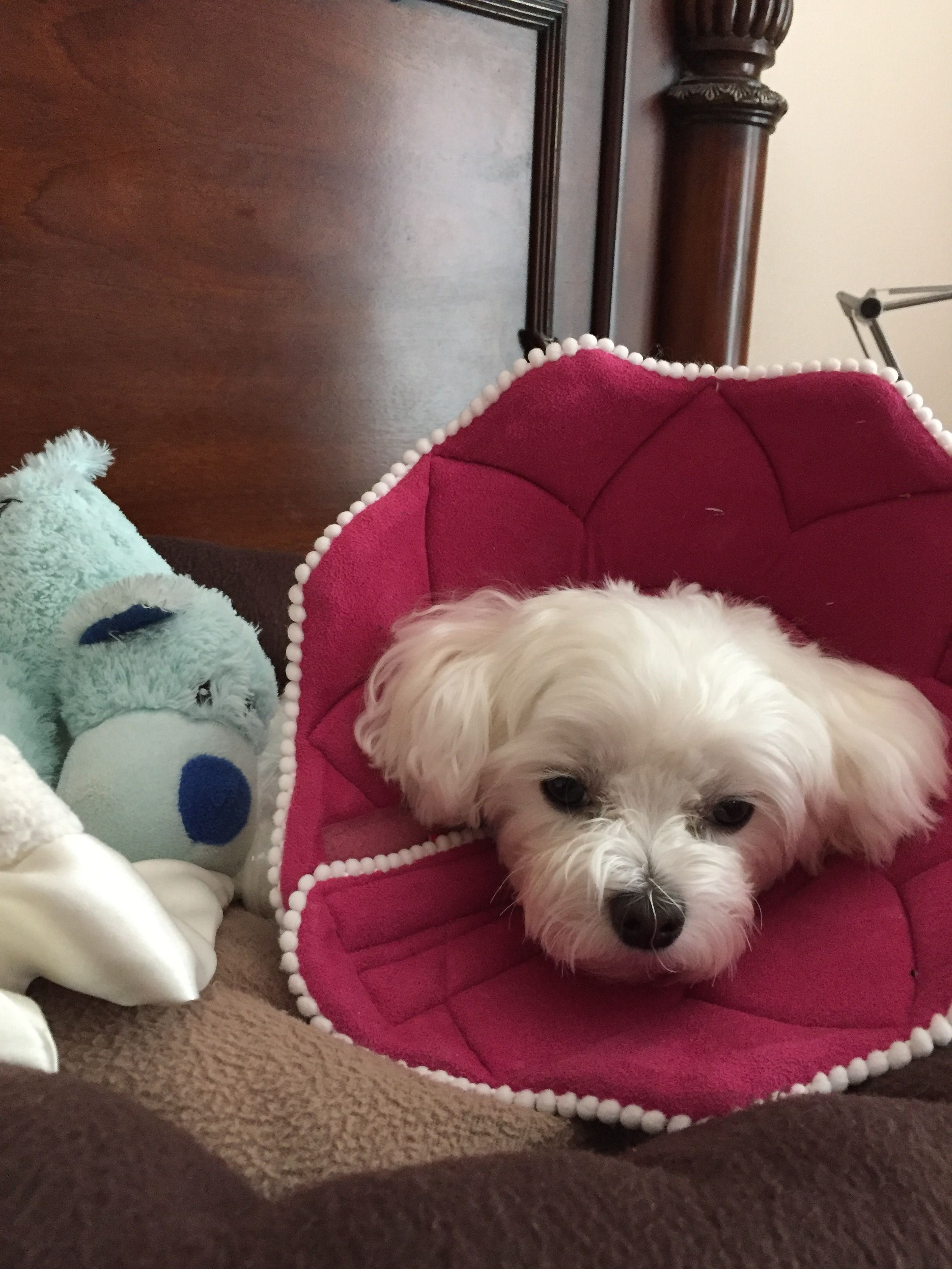 Pin By Pjc On Maltese Puppy Teacup Maltese Maltese Puppies