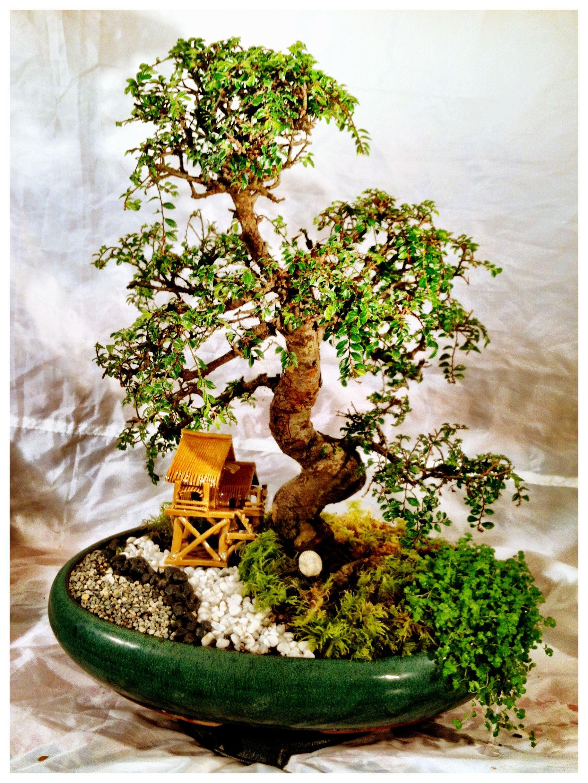 Zelkova Schneideriana Bonsai Plants The Originals
