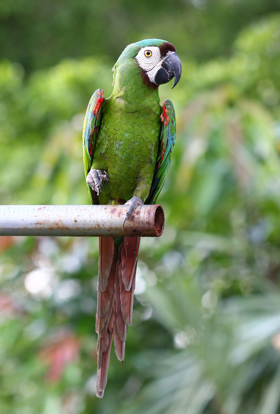 chestnut fronted macaw macaw