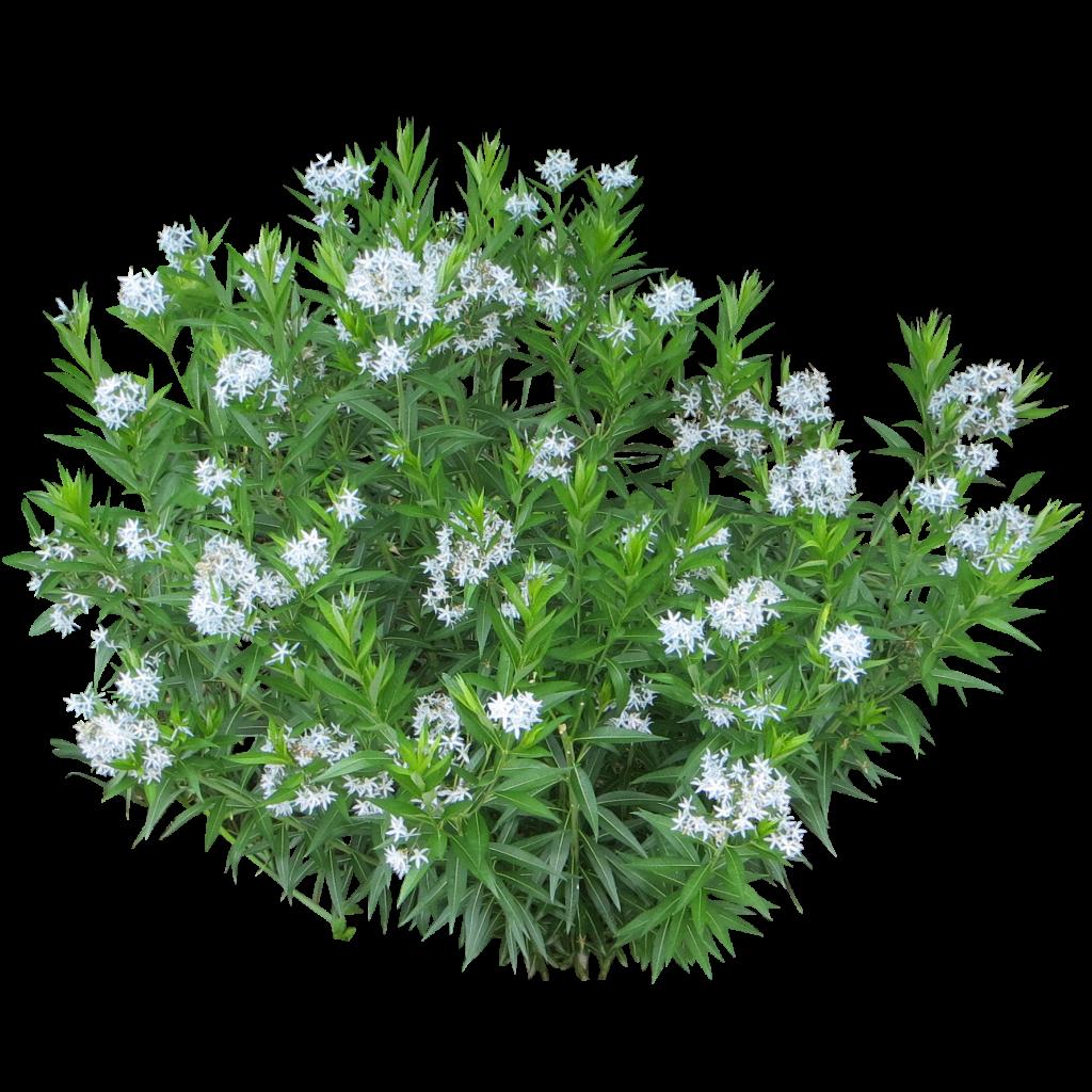 Spirea shrub photoshop library pinterest spirea for Landscaping grasses shrubs