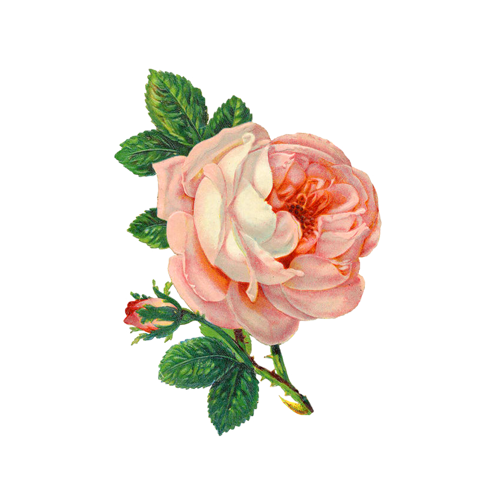 Free Download High Quality Pink Rose Png Image Clipart Transparent Background It Cannot Be Used Only In Birthd Flower Drawing Pink Rose Png Flower Illustration