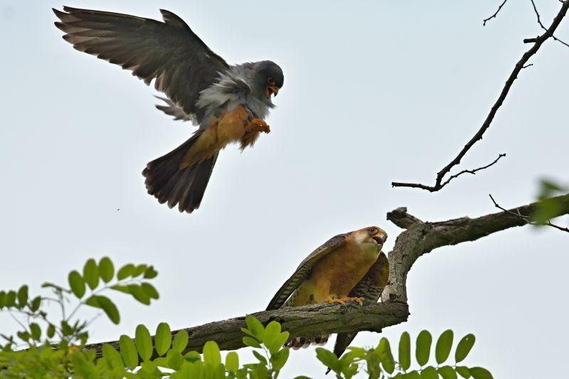 Na Slovensku hniezdi kriticky ohrozený sokol červenonohý