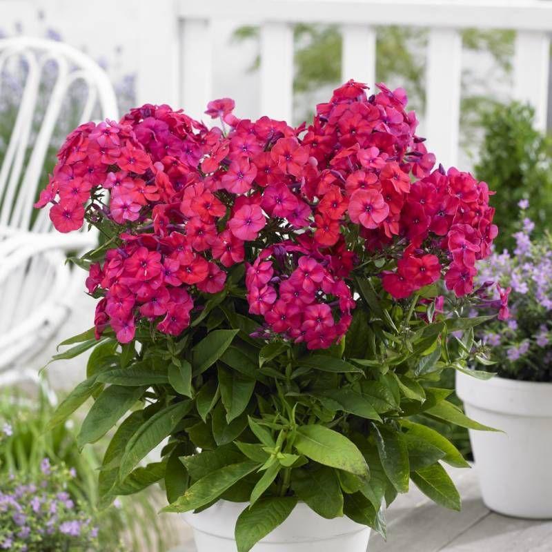 Floks Wiechowaty Famous Cerise Phlox Paniculata Albamar Plants Famous