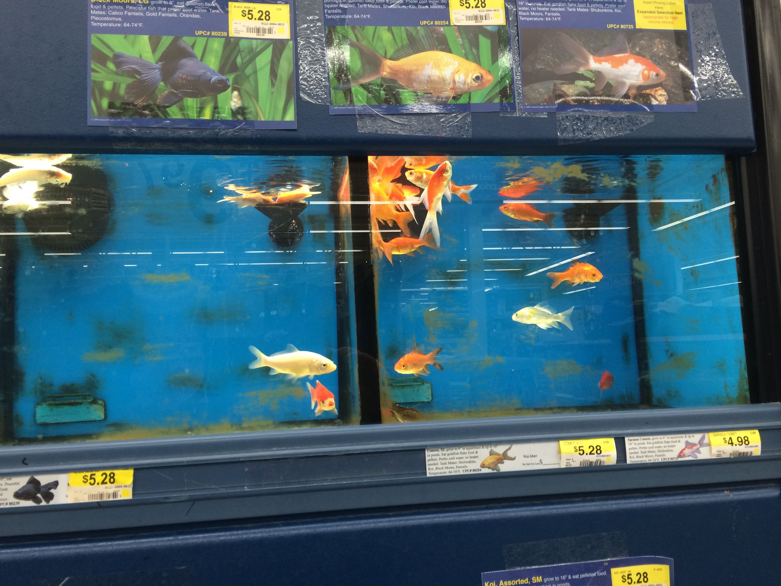dead fish float at top of ravenna ohio walmart goldfish tanks dead fish float at top of ravenna ohio walmart goldfish tanks more at