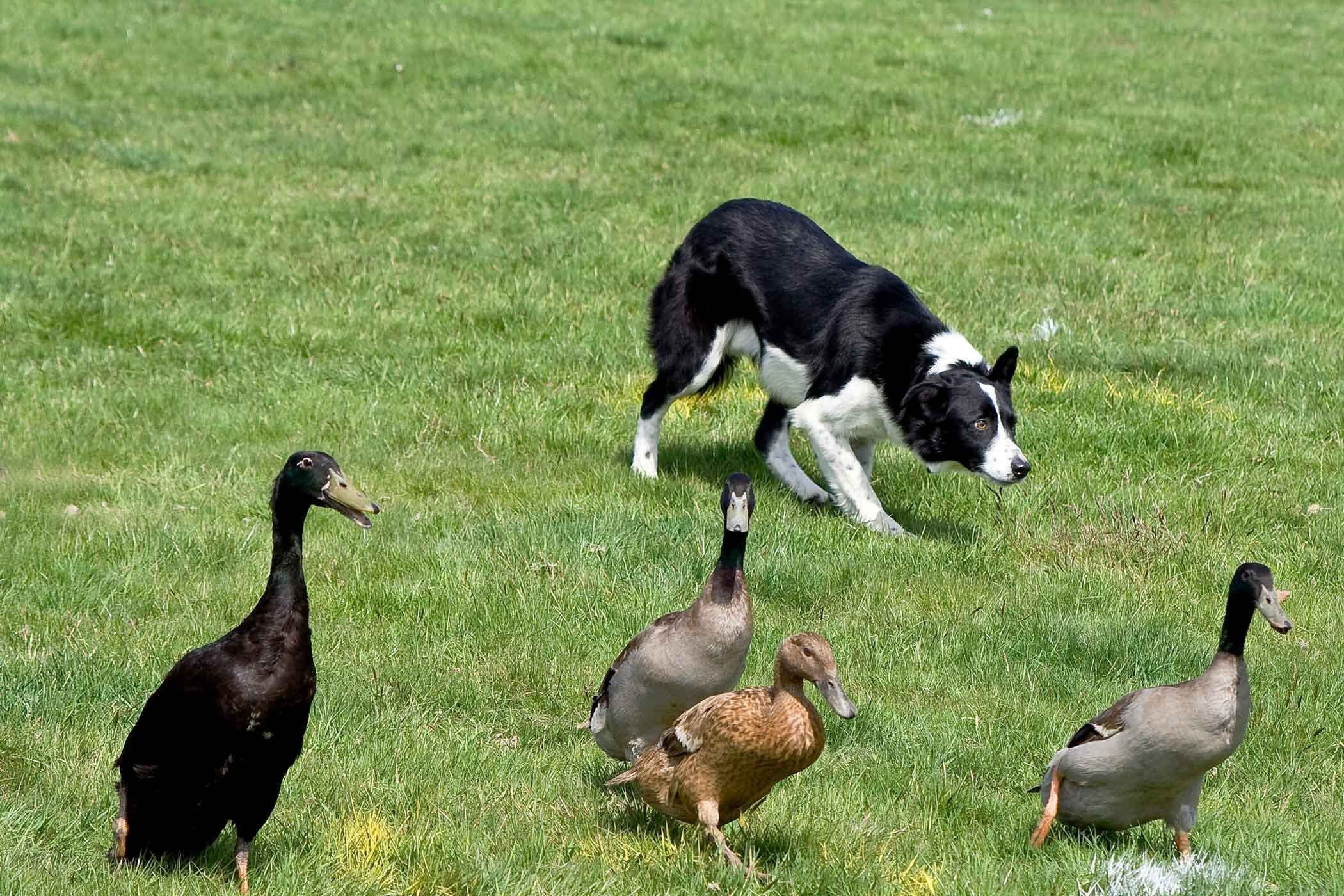 Learn How To Train Your Dog To Herd Ducks Using Start With Basics