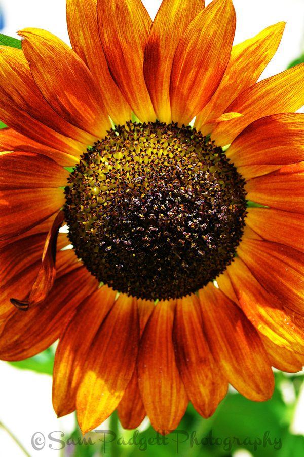Sunflower Sunflower Pictures Sunflower Flower Pictures