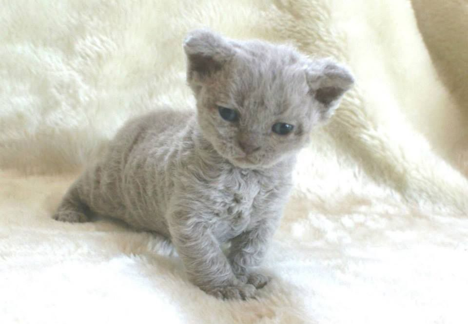 Beautiful Curly Haired Cat Breeds In The World Rex Cat Selkirk Rex Kittens Cute Cats And Kittens