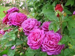 heidi klum rose roses pinterest roser. Black Bedroom Furniture Sets. Home Design Ideas