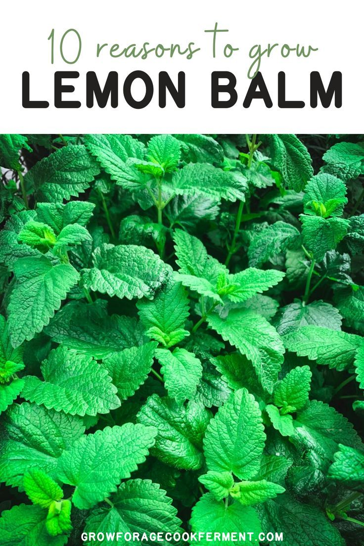 10 Reasons to Grow Lemon Balm is part of How to grow lemon, Planting herbs, Lemon balm, Garden plants, Medicinal plants, Medicinal herbs - Lemon balm has numerous benefits! Here are 10 great reasons to grow lemon balm for your garden, your health, and delicious food and drinks!