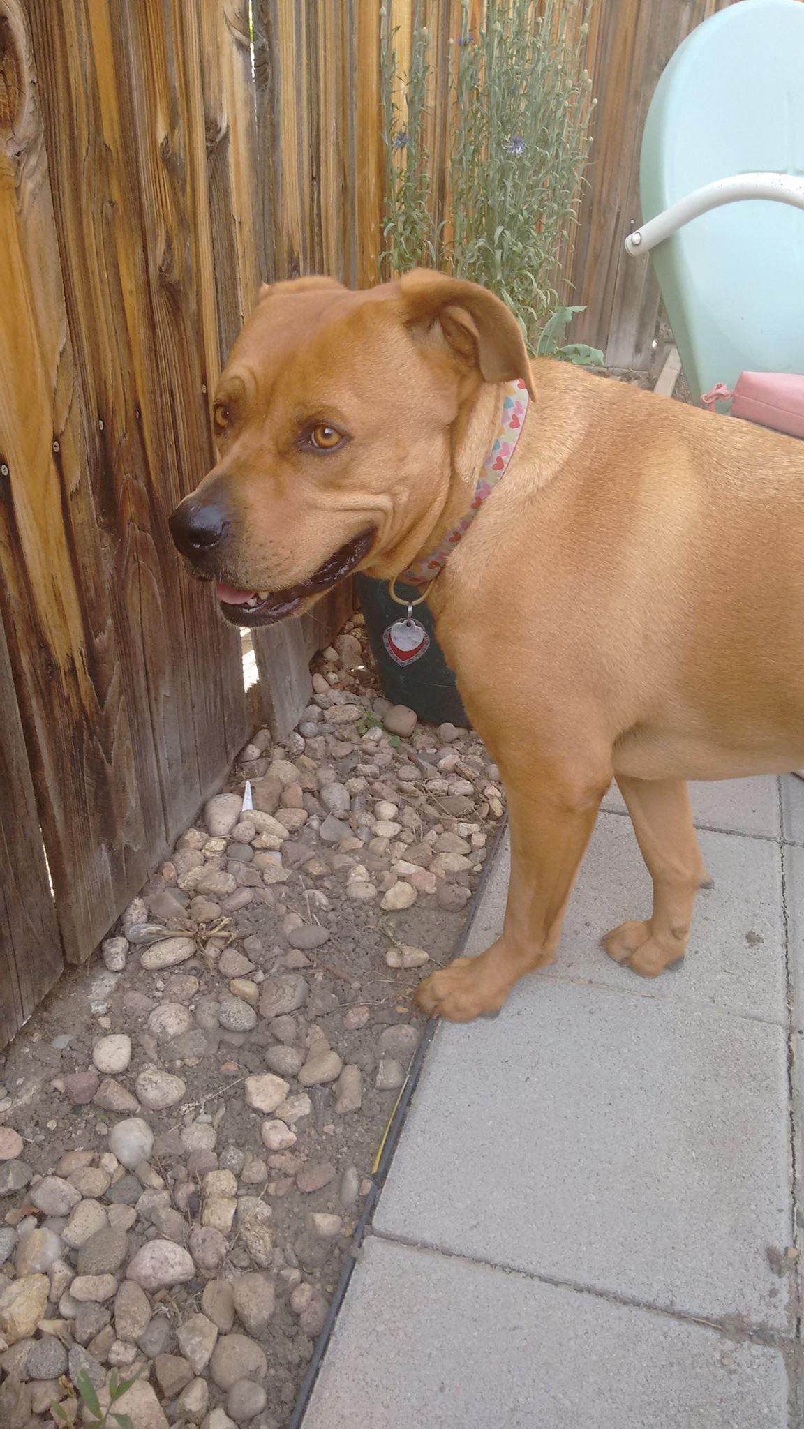 Labrador Retriever dog for Adoption in Denver, CO. ADN