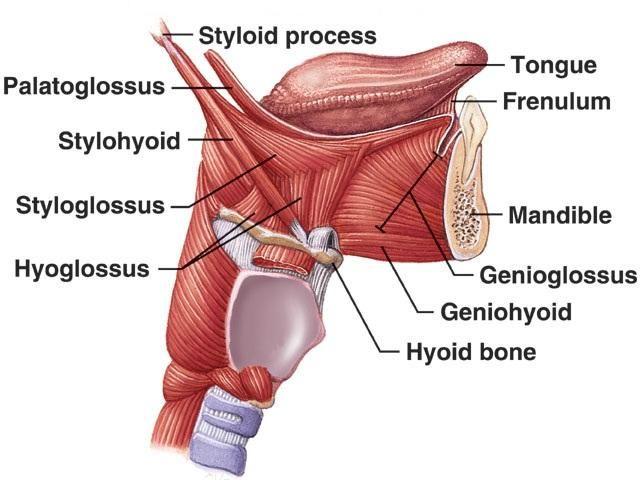 Mandible & Tongue Muscles | ANATOMIA | Pinterest | Musculos del ...