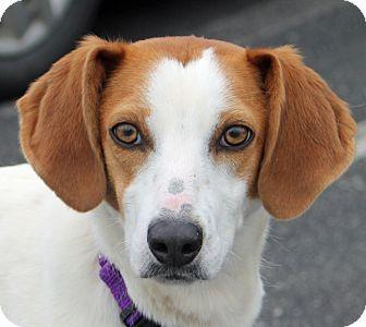 Richmond Va Hound Unknown Type Whippet Mix Meet Indie A Dog