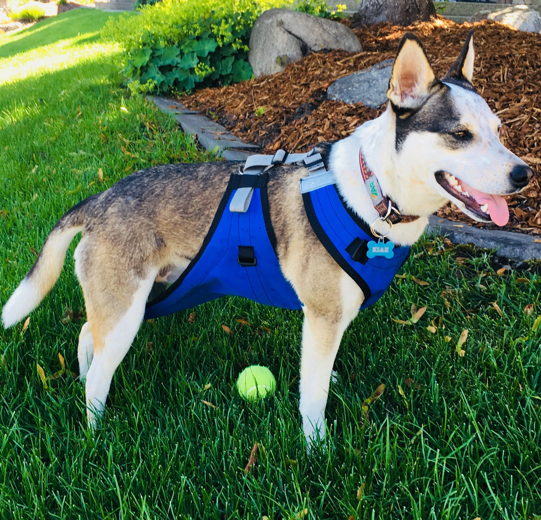 Perfect Dog Gear For Short Haired Dogs Like The Blue Heeler