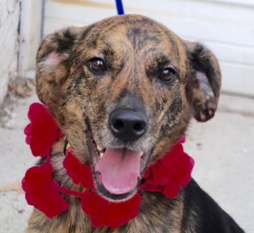 Rose A1090052 Dog Safe Dog Adoption Dogs