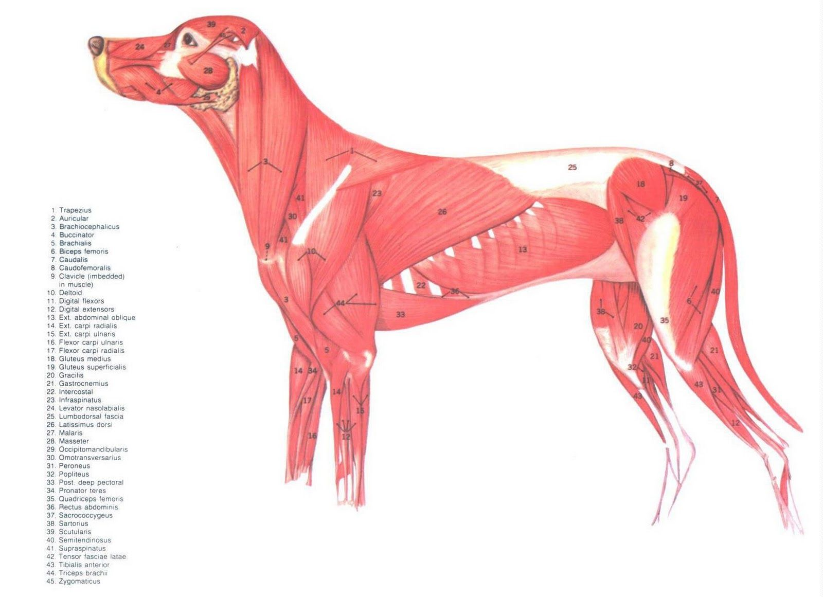 Canine muscles | Anatomía perros | Pinterest