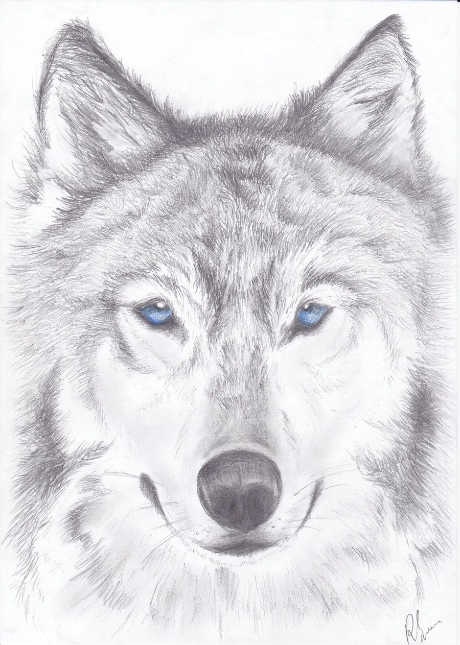 Wolf Drawings  Google Search