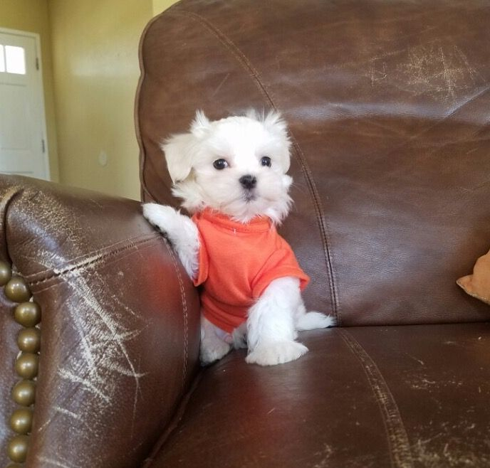 Maltese Puppy For Sale In Los Angeles Ca Adn 27445 On Puppyfinder Com Gender Male Age 9 Weeks Old Maltese Puppy Maltese Puppies For Sale Puppies For Sale