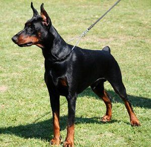 Doberman Pinscher Health Problems Doberman Dogs Doberman