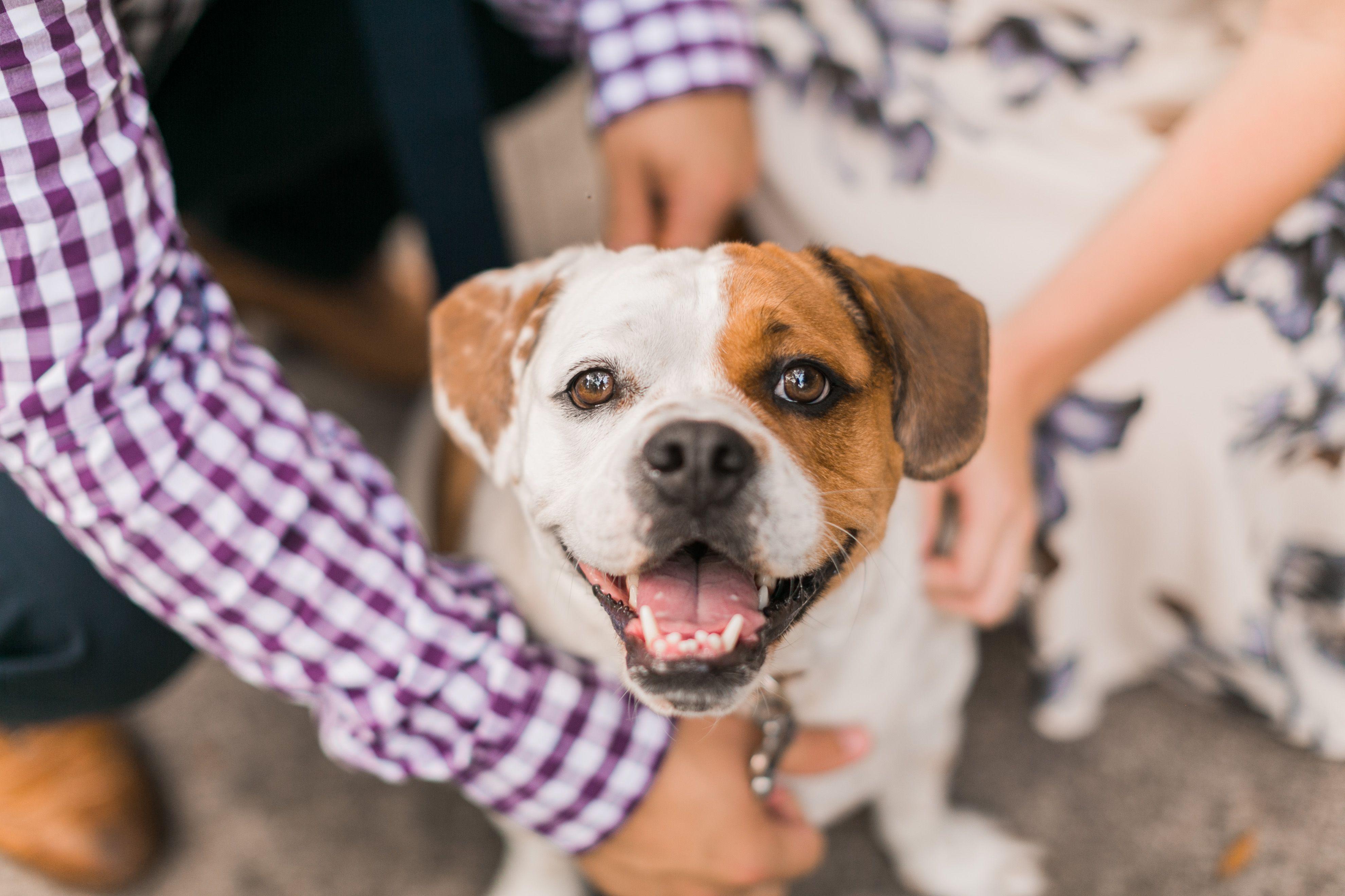 Ramis The Beabull Engagement Photo Puppy Puppydog Dog Cutedog