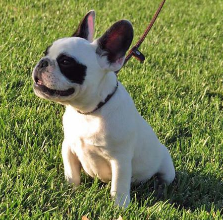 Harvey Dent The French Bulldog Cute Pinterest French
