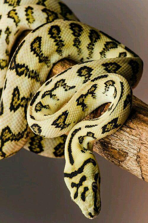 Jaguar coastal carpet python