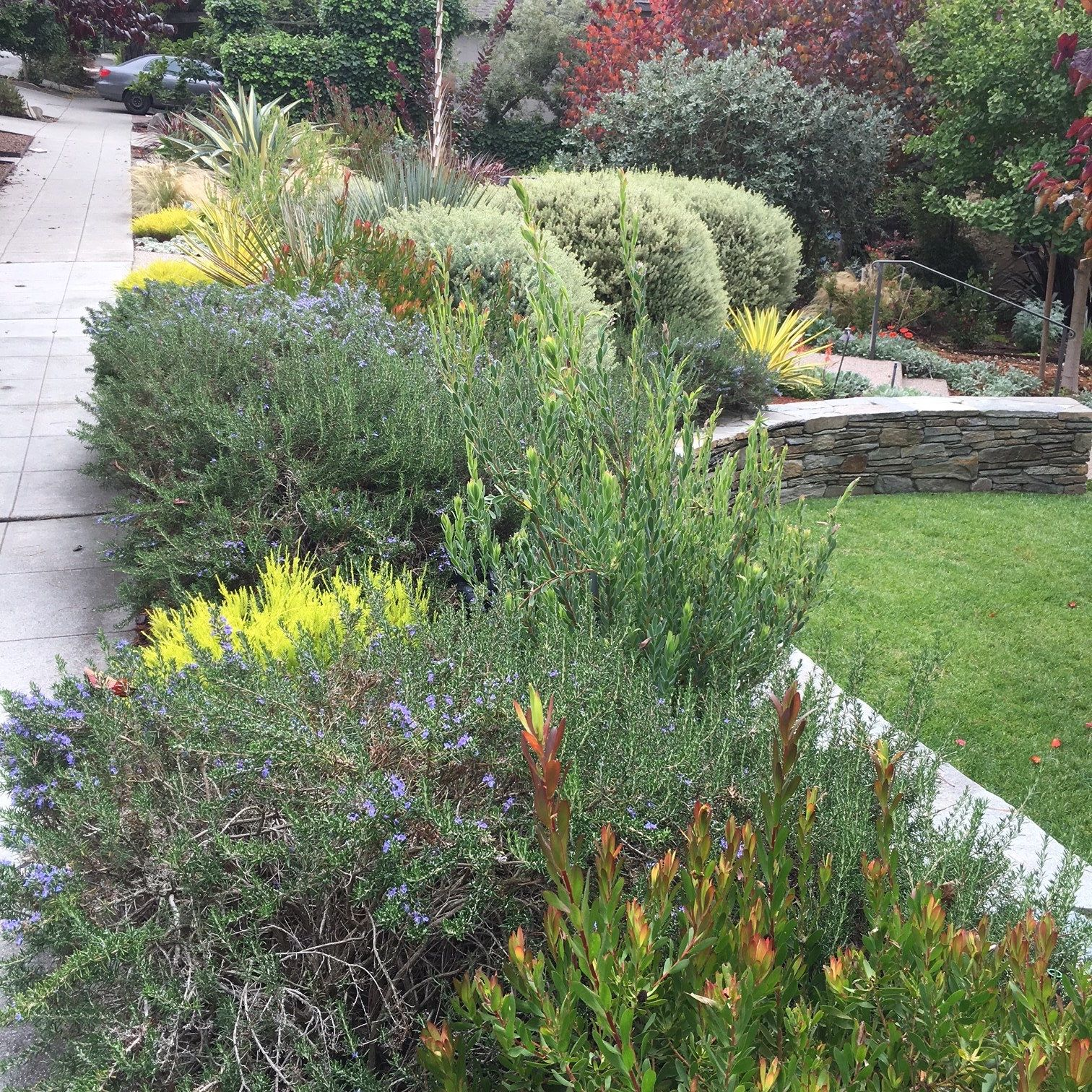 another pic of the dry border garden -- rosemary, leucospernum, flax, agave, dudleya