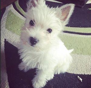 Westie Puppies West Highland Terrier Pups 2 Left Oshawa